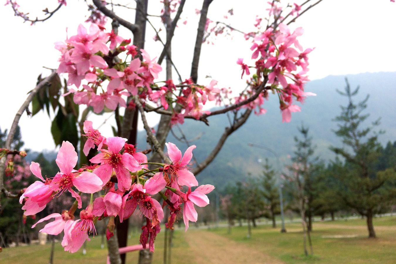 Sakura Taiwan 九族文化村