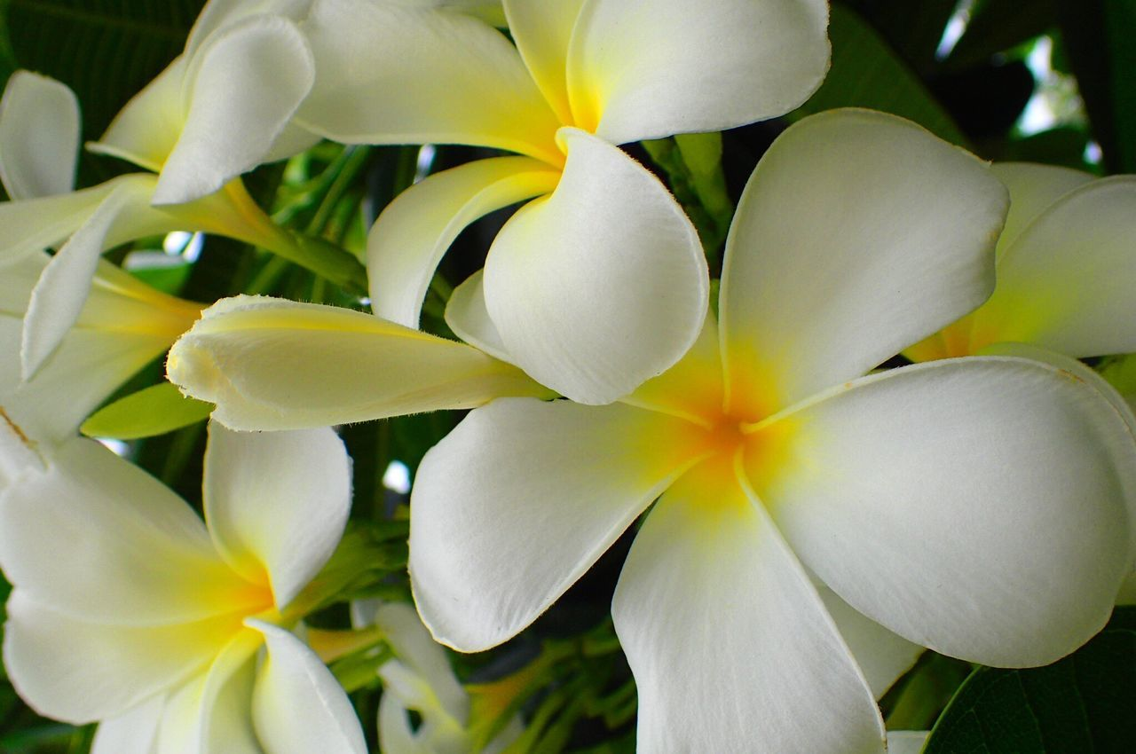 flower, petal, flower head, beauty in nature, fragility, freshness, white color, growth, nature, close-up, blooming, no people, frangipani, day, plant, outdoors
