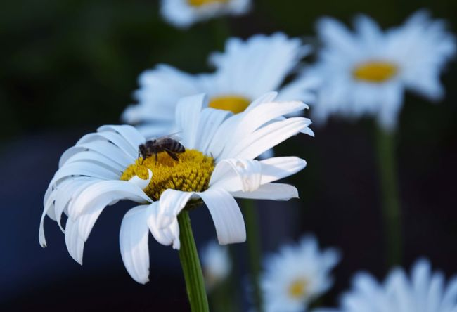 The bee on the margarite Beauty In Nature Bee Blooming Close-up Flower Flower Head Focus On Foreground Fragility Freshness Garden Garden Photography Growth In Bloom Margarite Margarites Nature Petal Plant Pollen Pollination Selective Focus White White Color