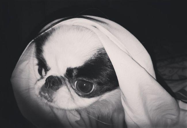 Japanese Chin Mother Teresa DogsSaint Dog