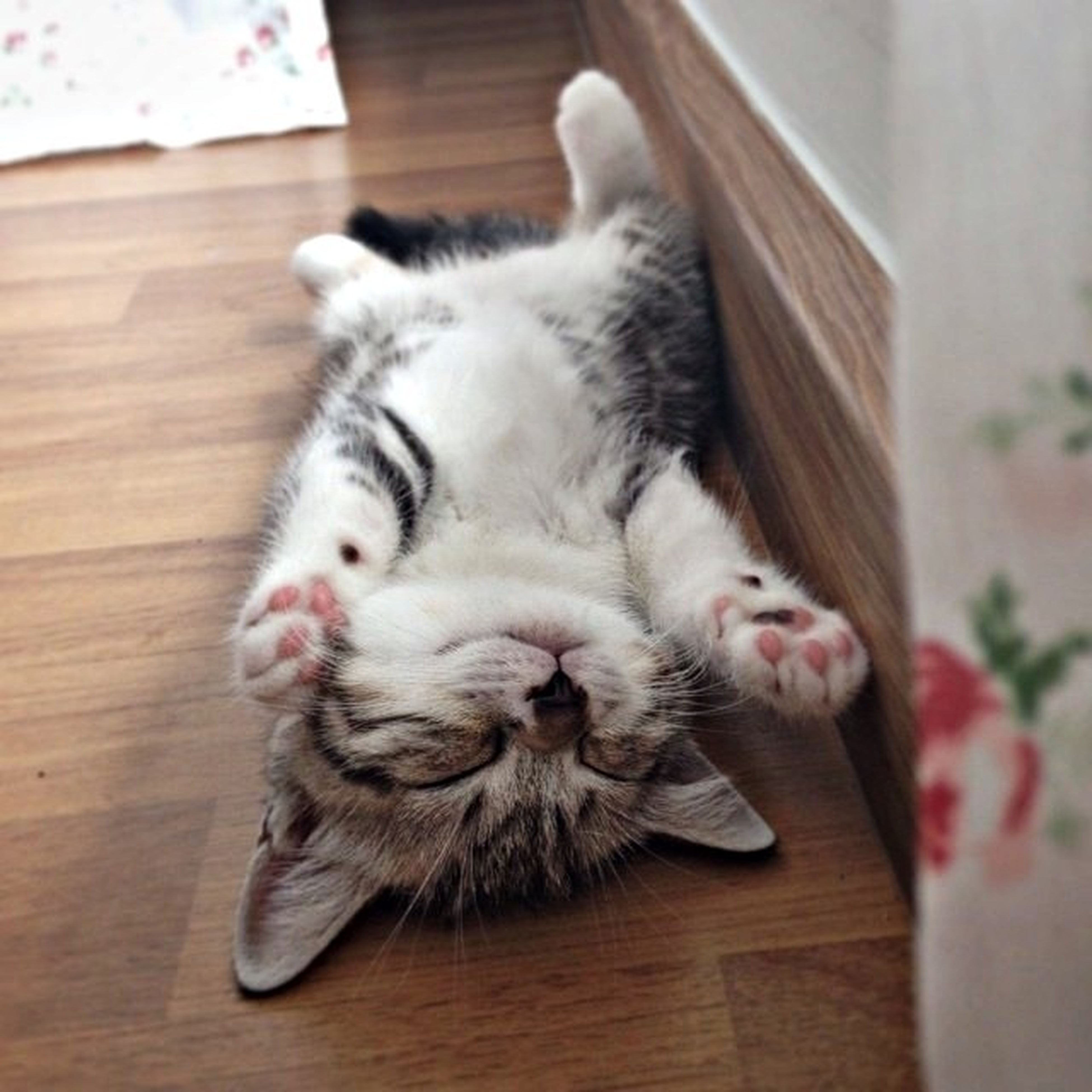 pets, domestic animals, indoors, animal themes, mammal, domestic cat, one animal, cat, feline, relaxation, hardwood floor, home interior, wood - material, table, whisker, flooring, close-up, lying down, resting, looking at camera
