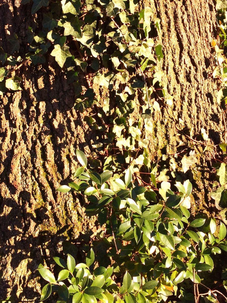 Nature TreesInTheCity Natureinthecity Ivy Treetrunk Charlotte Neighborhood Natural Beauty Beautiful Nature