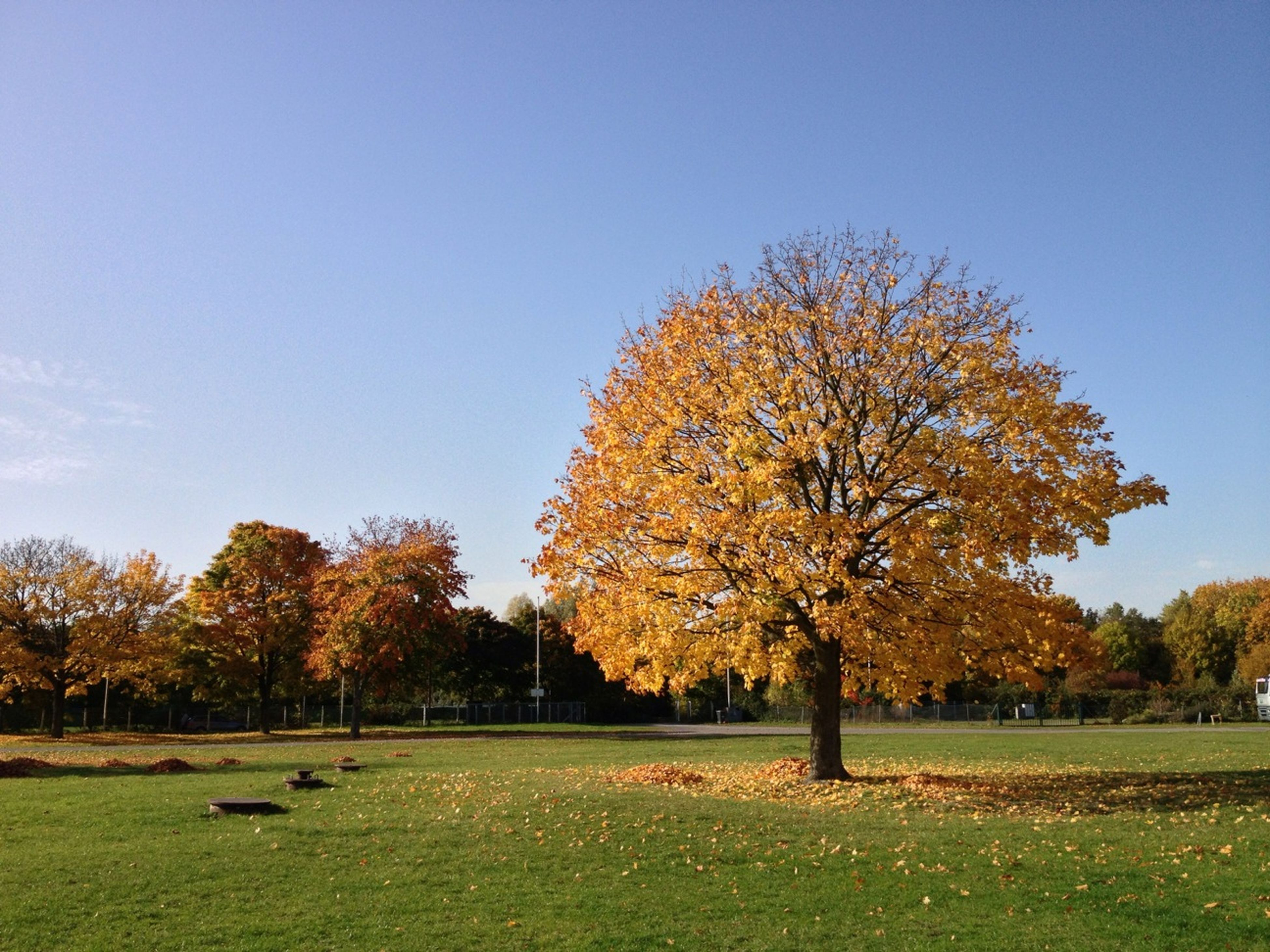 tree, autumn, clear sky, grass, change, tranquility, beauty in nature, field, season, tranquil scene, growth, nature, scenics, branch, landscape, park - man made space, grassy, blue, green color, day