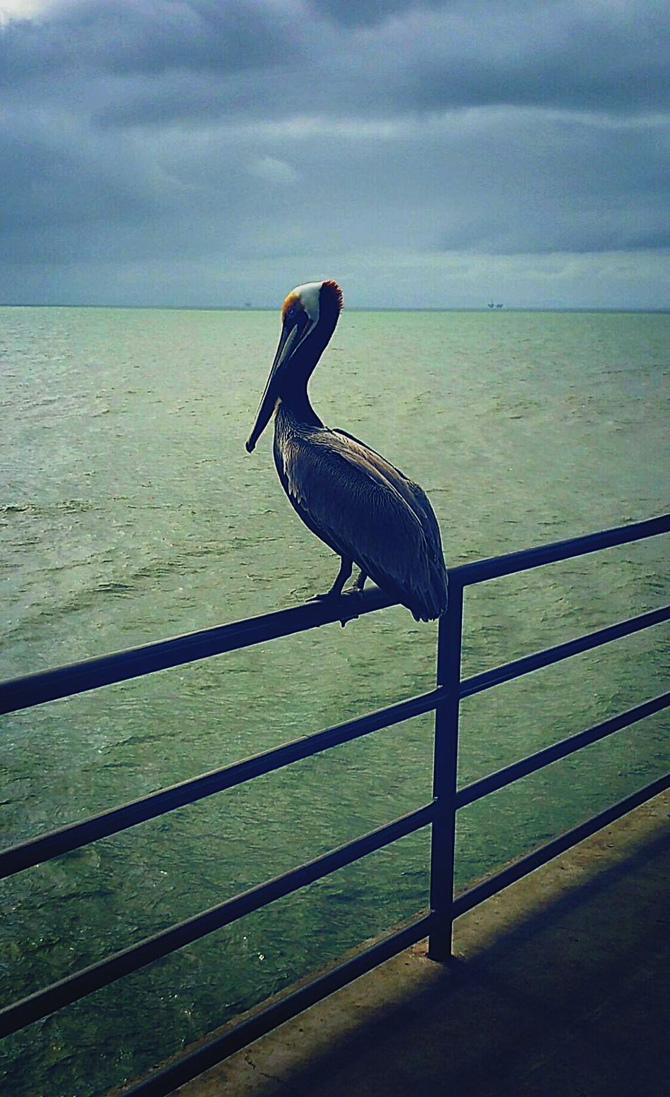 Sea Bird Water Animals In The Wild One Animal Beauty In Nature Pelican Outdoors Pier Animal Wildlife Day Beauty In Nature Scenics Godrules Beach Photography Hbpier Nature Beach No People Beachphotography Sharpen Solitude Coastal Feature Applicators