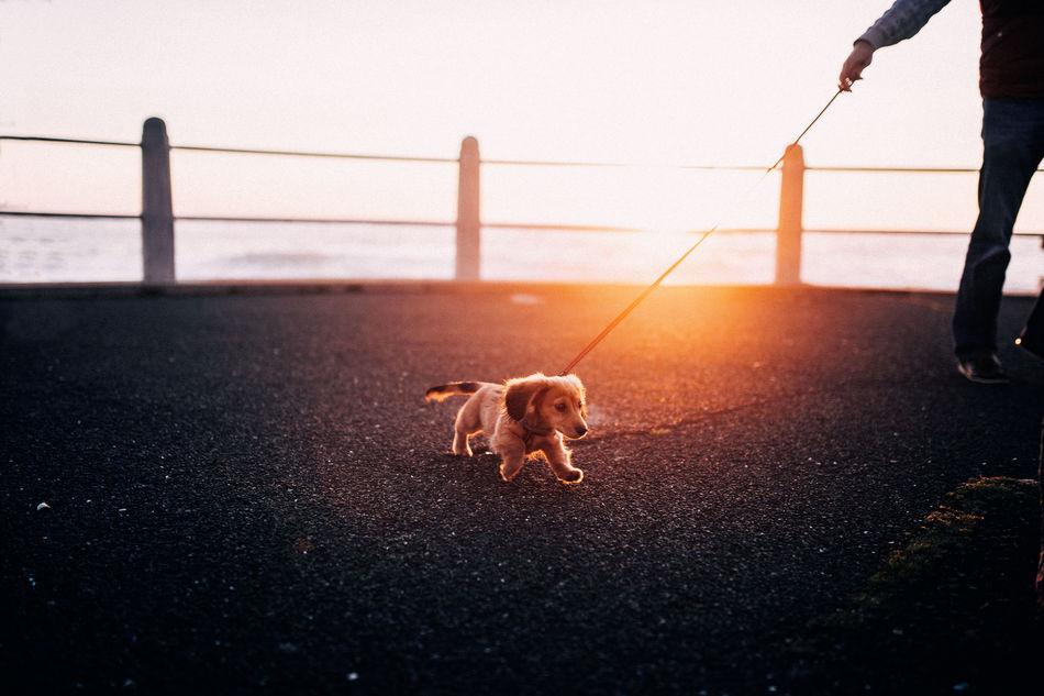 Candid Cute Dog Pet Promenade Puppy Sunset Walking