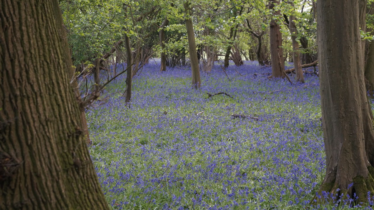 Bark Beauty In Nature Bluebell Bluebell Wood Day Forest Growth Landscape Nature No People Outdoors Scenics Spring Tranquil Scene Tranquility Tree Woods