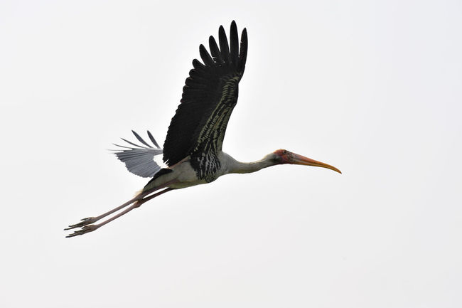 A stork in flight in New Delhi, India. Aerodynamics Of Flight Beautiful Nature Beauty In Nature Bird Bird In Action Bird Photography Close-up Copy Space Day Delhi Flying Flying Bird India Long Beak Long Legs Nature Nature No People Outdoors Spread Wings Stork Flying Wildlife & Nature Wildlifephotography Wing Span Wings
