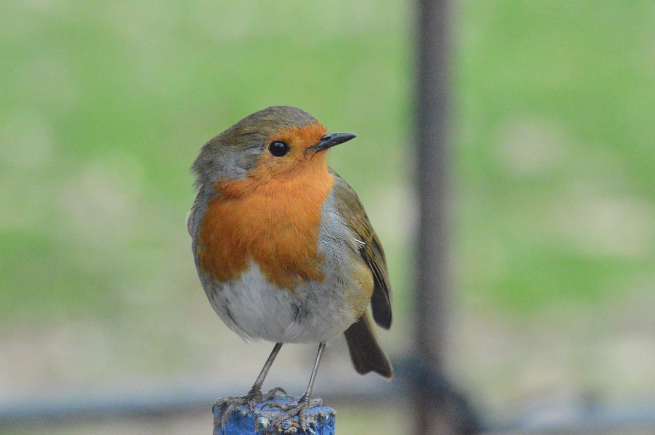 Robin at Attingham Park, Shropshire. Robin Robin Redbreast Bird