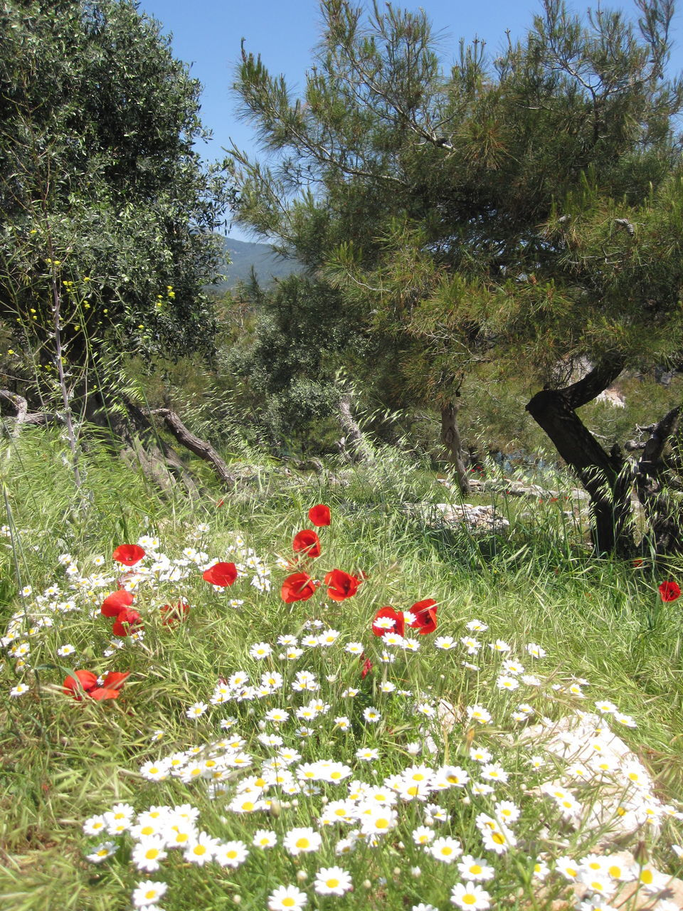 Poppies And Daisies In Glade