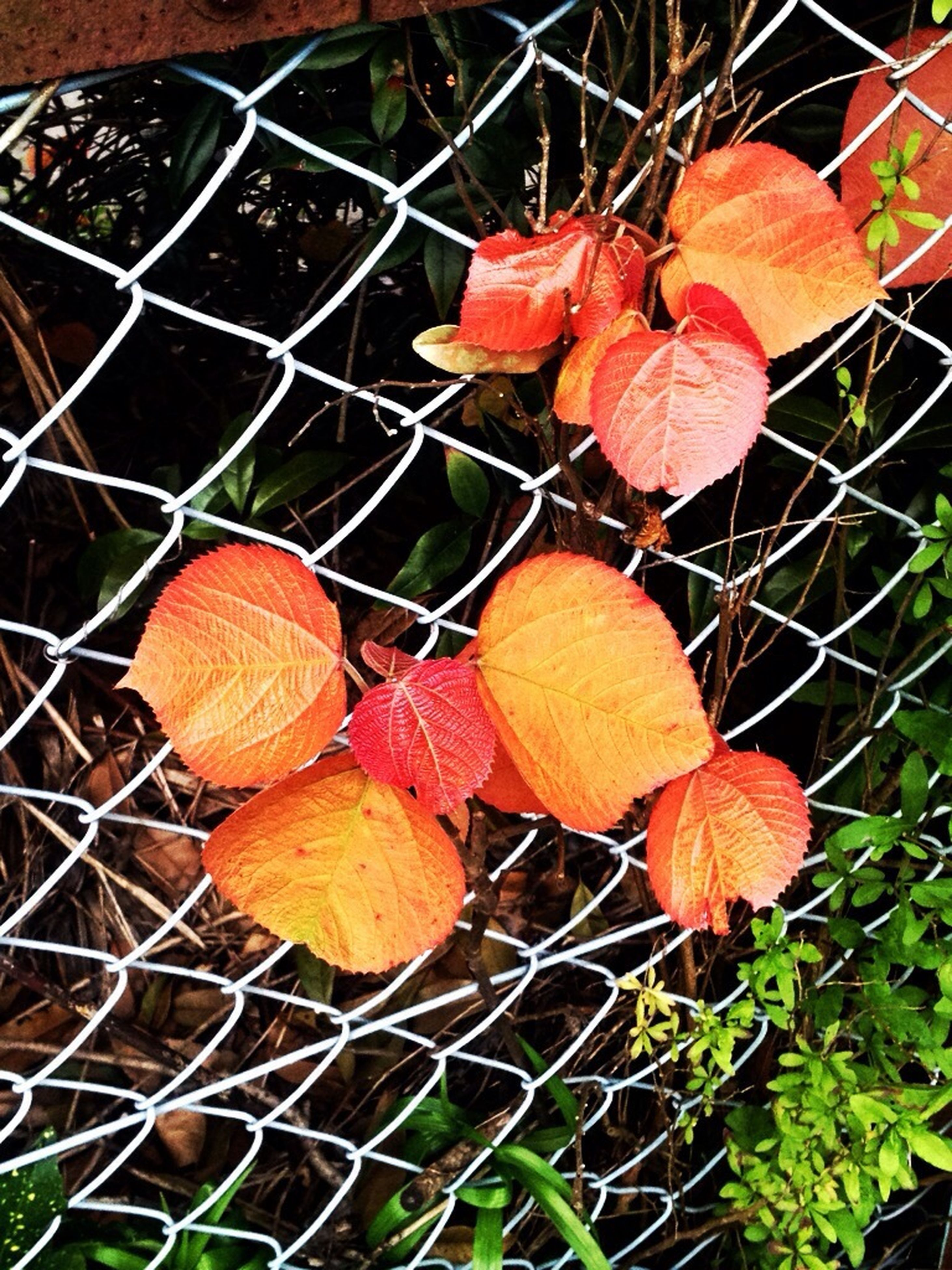 autumn, leaf, change, season, dry, close-up, orange color, red, chainlink fence, leaves, plant, high angle view, nature, leaf vein, focus on foreground, no people, day, outdoors, metal, fragility