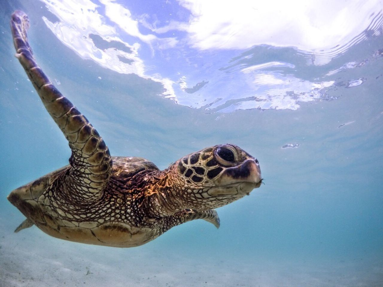 One Animal Animals In The Wild Swimming Nature Sea Turtle UnderSea Sea Life No People Water Day Outdoors Beauty In Nature Animal Themes Hawaii Tropical Paradise