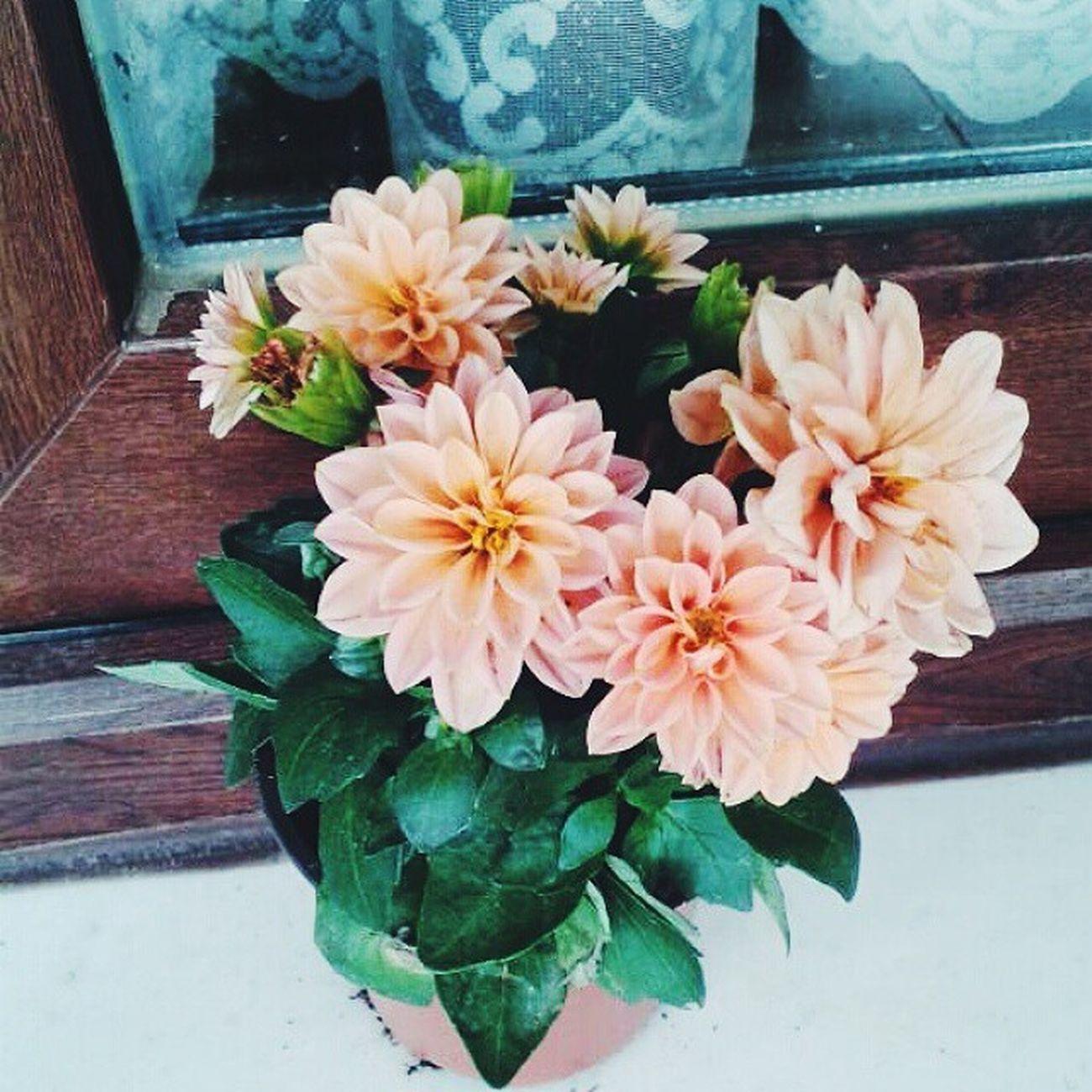Sana Kaf dağının ardından hiçbir fâninin koklamadığı çiçekleri, hiçbir elin uzanmadığı meyveleri getirebilirim… Çiçek de, meyve de palavra. Seni boşluktan kurtarabilirim. Vscocam Vscolove Vscoflower Vscourban flowers love pencereler cicekler windows