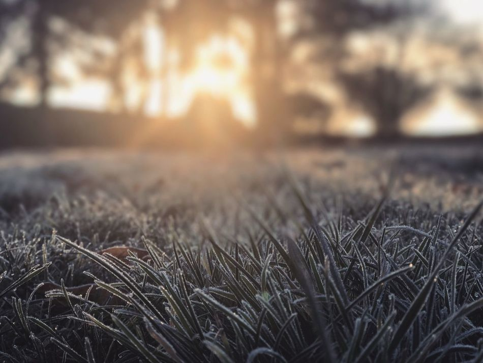 Morning frost Selective Focus Grass Field Sunset Nature Close-up Growth No People Surface Level Outdoors Plant Tranquility Beauty In Nature Freshness Day