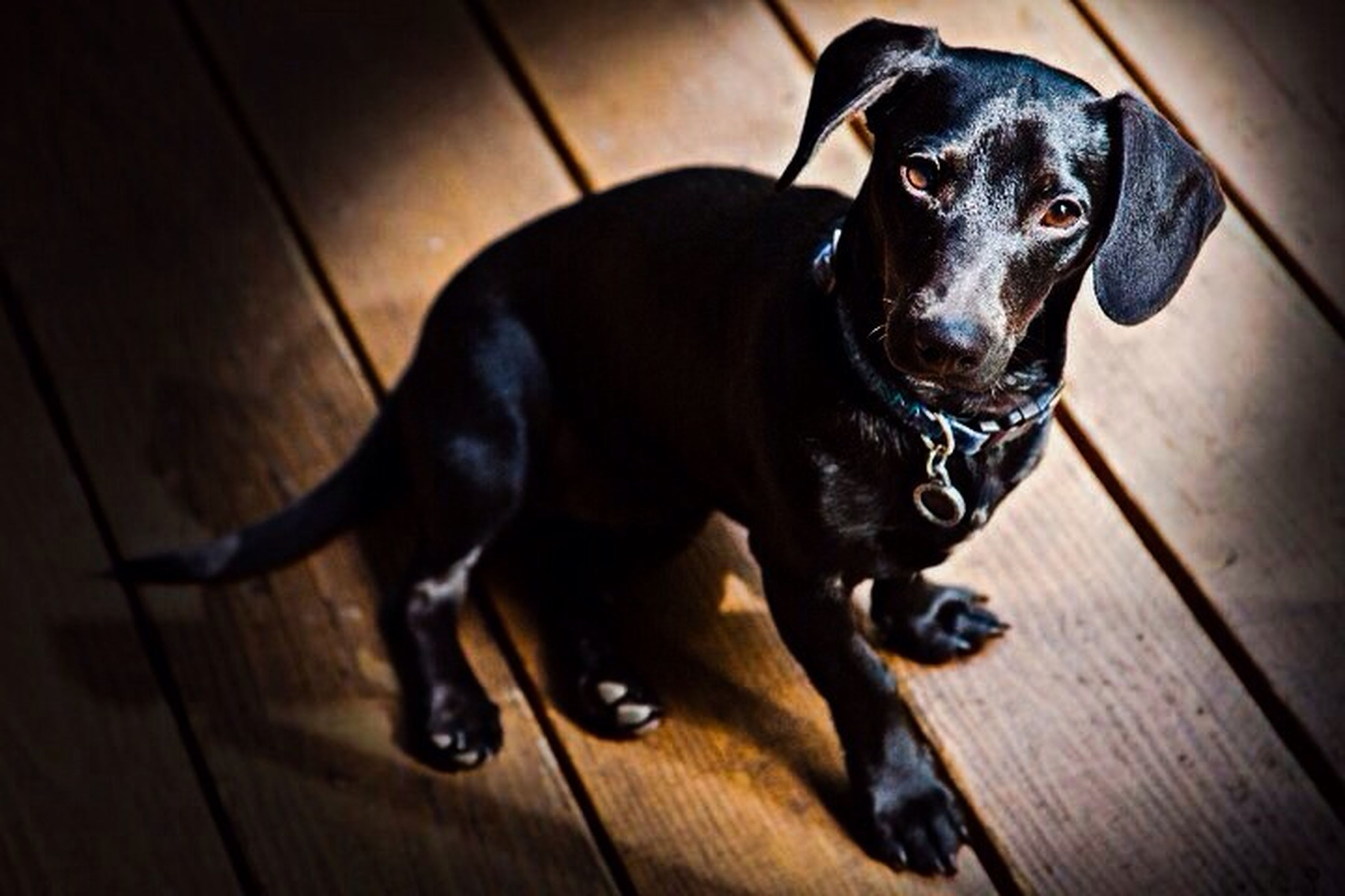 pets, domestic animals, dog, animal themes, indoors, one animal, mammal, looking at camera, hardwood floor, flooring, black color, portrait, home interior, high angle view, floor, relaxation, lying down, animal head, sitting, home