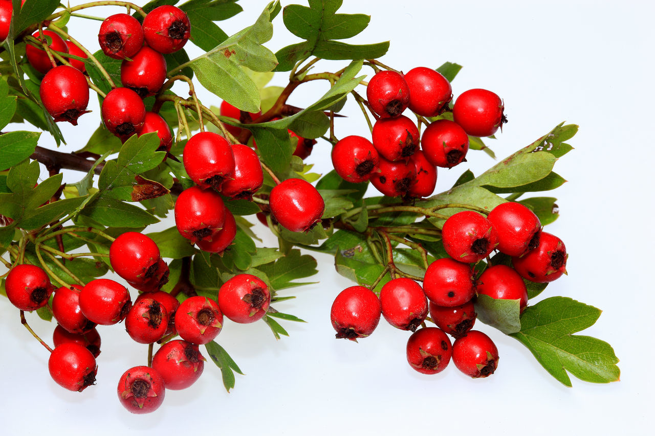 red, food and drink, fruit, leaf, food, freshness, healthy eating, green color, rowanberry, no people, growth, nature, close-up, water, branch, white background, outdoors, day