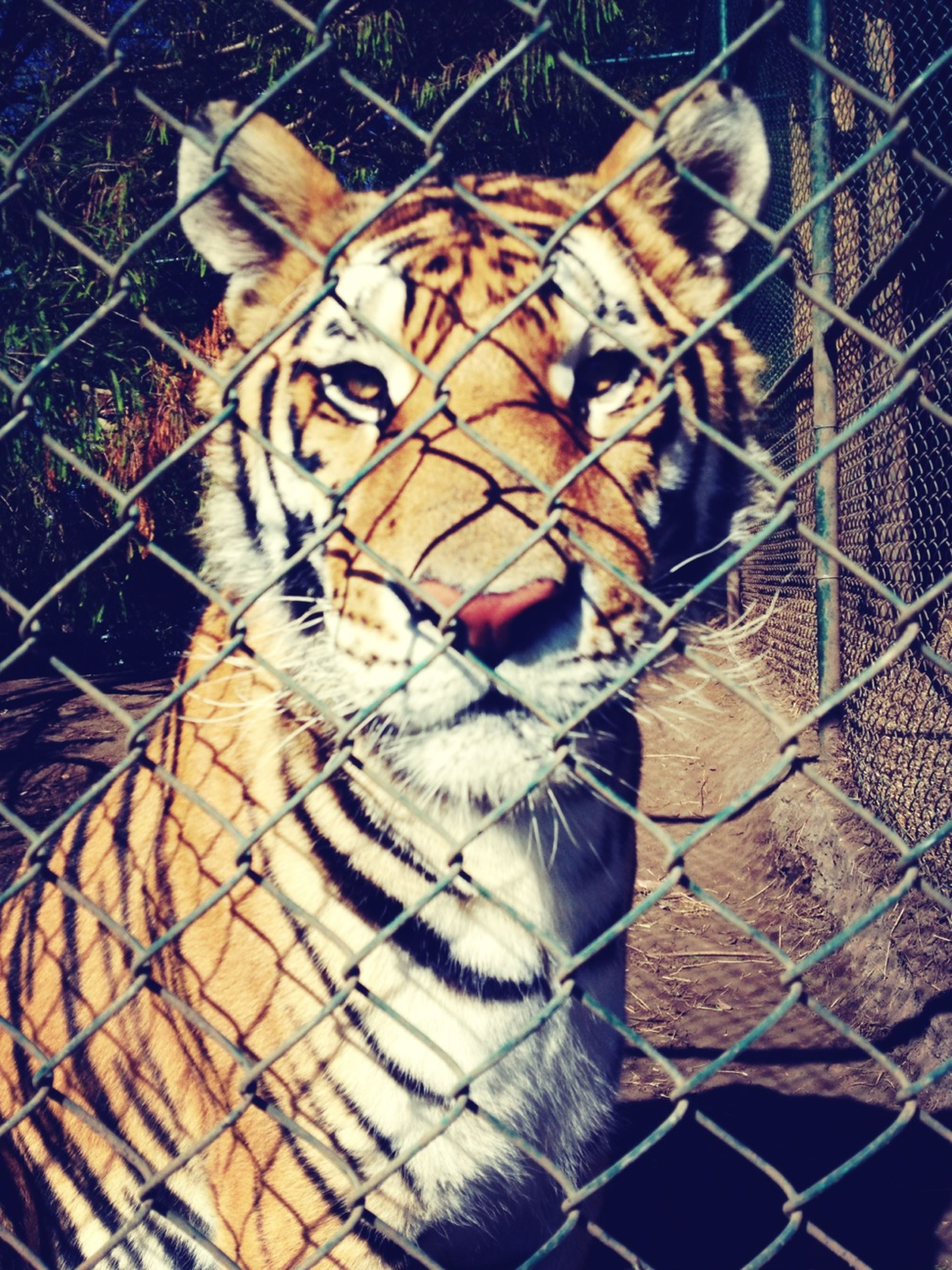animal themes, one animal, mammal, domestic animals, pets, chainlink fence, fence, feline, domestic cat, animal markings, animals in captivity, portrait, animal head, cat, cage, zoo, close-up, no people, looking at camera, whisker