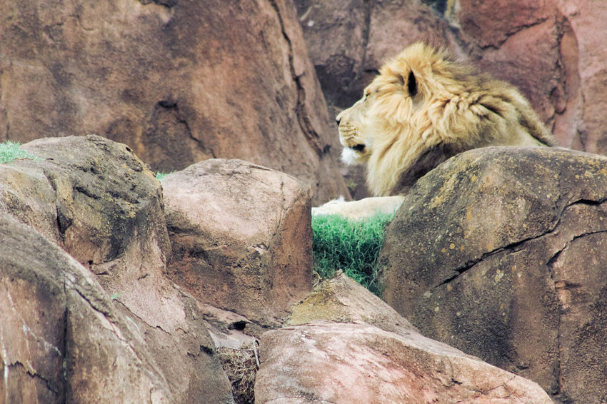 Animal Themes Animals In The Wild Day Lion Lioness Mammal No People One Animal Outdoors Relaxation Rock - Object