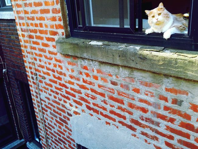Architecture Built Structure Brick Wall Building Exterior Window Domestic Animals Red Day Outdoors Paving Stone Surface Level Cat Cats Catsagram Cats 🐱 Brickporn Bricks Montrealcity Mtlshots Residential Building Residential Structure