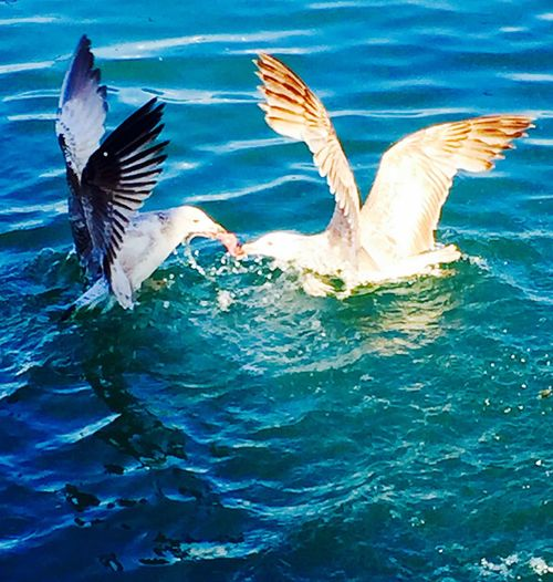 Fighting For Food Seagulls Mobile Photography Martılar Mobilephotography IPhoneography Bosphorus Bosphorus, Istanbul Boğaziçi