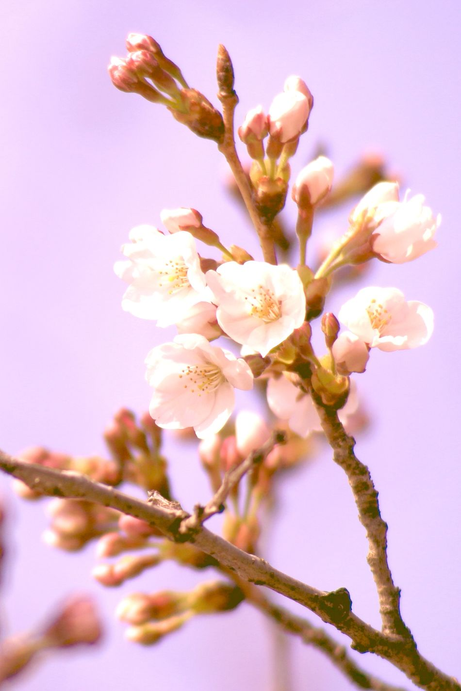 Cherry blossom blooming declaration Almond Tree Beauty In Nature Blooming Declaration Blossom Branch Cherry Blossoms Close-up Day Flower Flower Head Fragility Freshness Growth Japanese Cherry Tree. Millennial Pink Nature No People Outdoors Petal Pink Color Plant Springtime Stamen Tree Twig