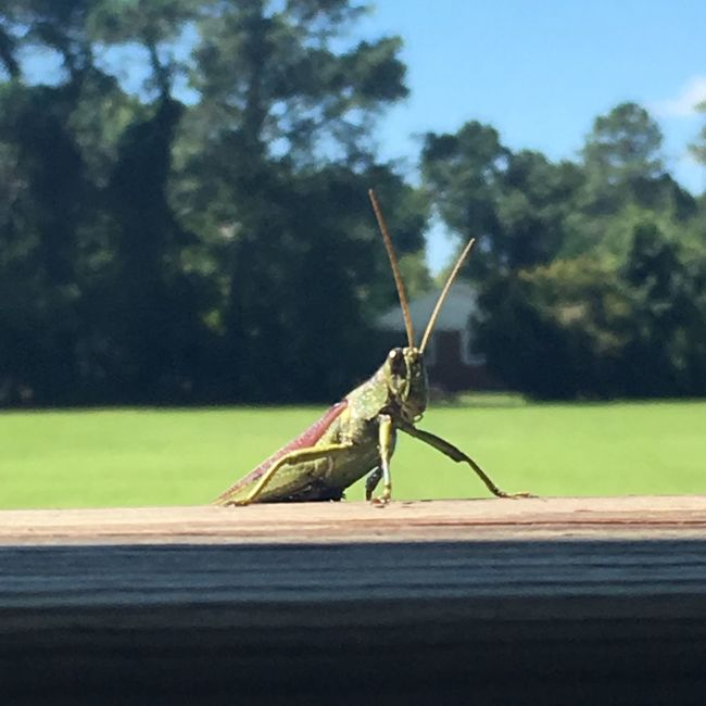 Crickets Wildlife One Animal Animal Themes Insect Animals In The Wild Close-up Tree Grasshopper Focus On Foreground Zoology Nature Day Green Color No People North Carolina