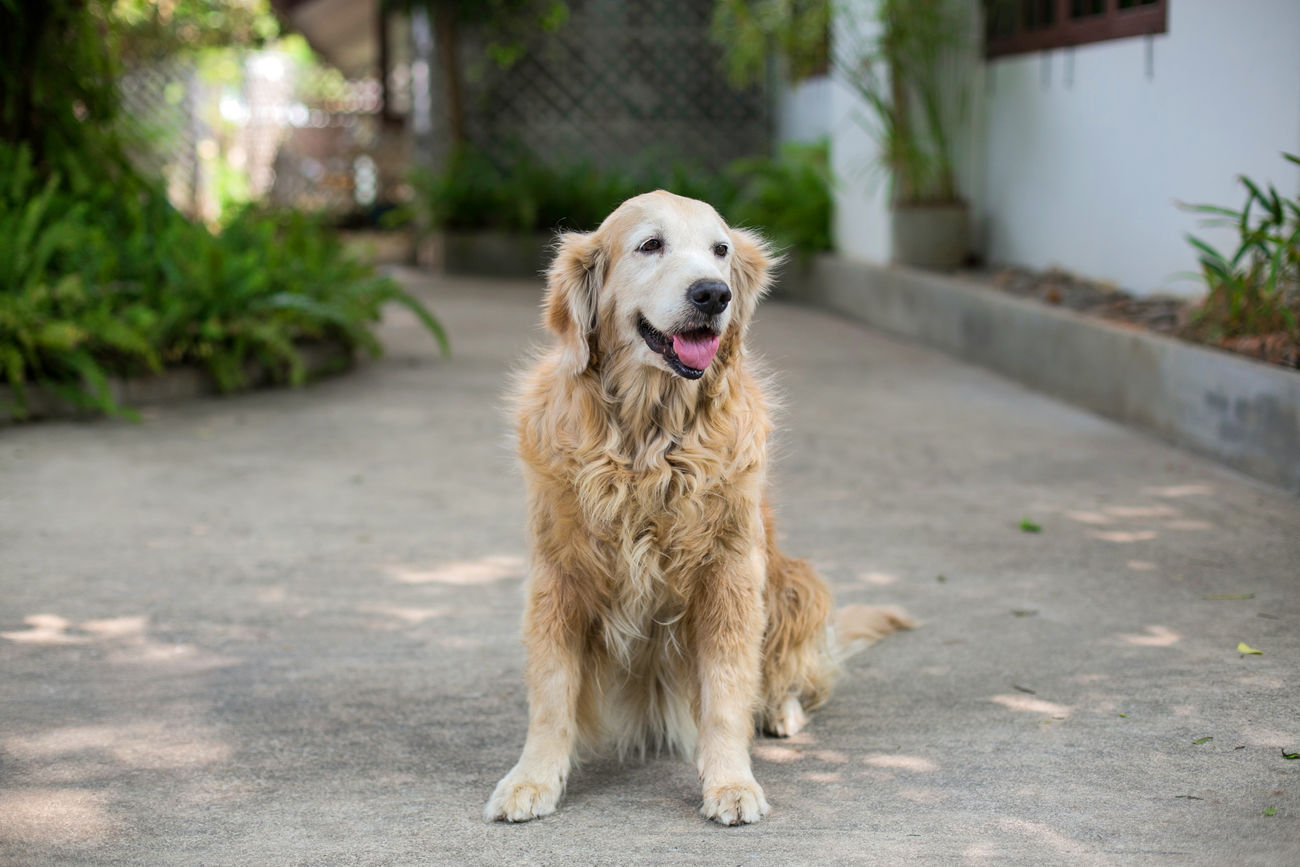 Bye Bye Cherry Animal Themes Close-up Day Dog Dog Love Dogs Female Golden Retriever Goldenretriever Happy No People One Animal Open Mouth Outdoors Panting Pet Photography  Pets Pets Corner Retriever Sitting Smile Smiling Tounge Out  Tree