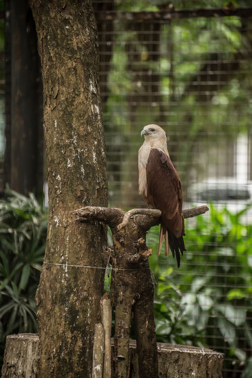 Animal Themes Animal Wildlife Animals In The Wild Bird Day Eagle Eagles Eyeem Philippines Growth Mammal Nature No People One Animal Outdoors Perching Philippine Eagle Serpent Eagle Tree Tree Trunk White Bellied Eagle Woodpecker