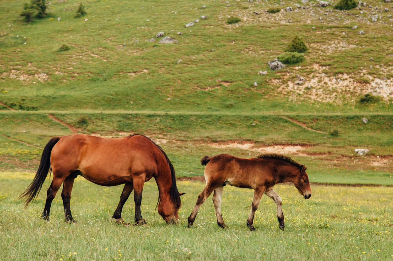 horse, grass, grazing, animal themes, field, animals in the wild, nature, foal, mammal, day, livestock, outdoors, no people, cow, animal wildlife, young animal, full length, domestic animals