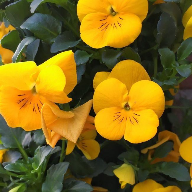Spring Flowers Spring EyeEm Nature Lover Nature Nature_collection Yellow Yellow Flowers Violet Flowers