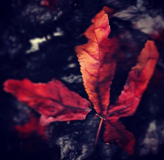 Autumn Leaf Change Red Selective Focus Maple Leaf No People