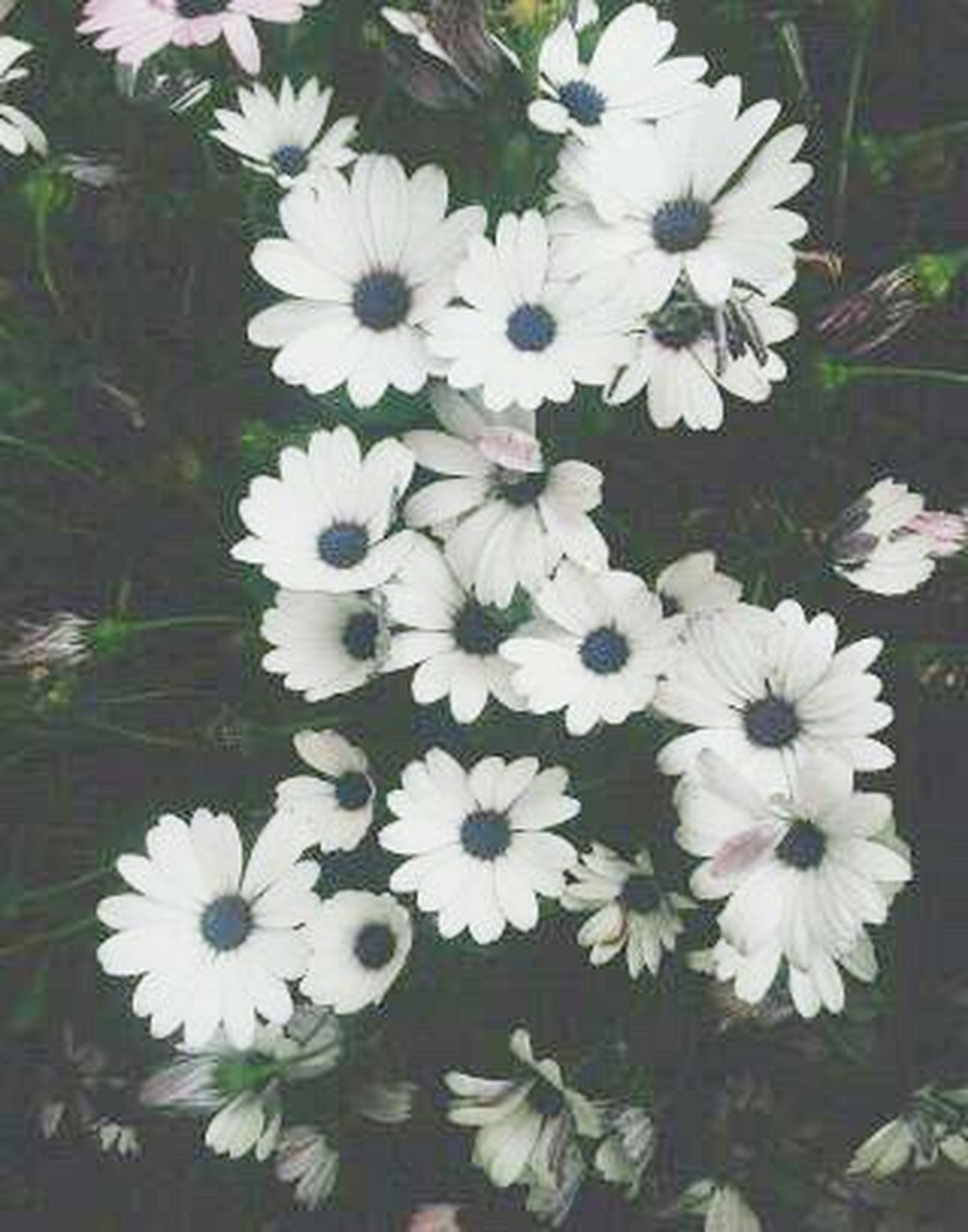 flower, freshness, fragility, growth, white color, petal, beauty in nature, flower head, close-up, nature, plant, daisy, day, blooming, springtime, in bloom, pollen, growing, blossom, no people, daisies, bloom
