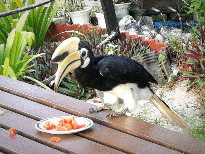 The Great Outdoors - 2017 EyeEm Awards Pangkor Island Malaysia Hornbill Bird Feeding