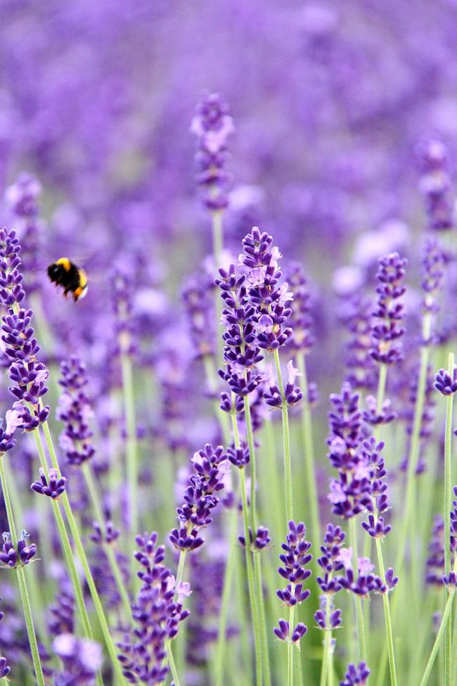 Nature Nature_collection Nature Photography Lavender Lavenderflower Flowers Flowers, Nature And Beauty Purpel Purple Flower