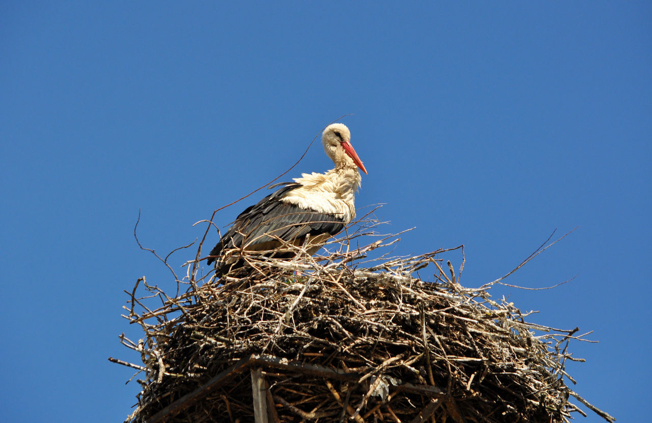 animal nest, bird, bird nest, animals in the wild, animal themes, clear sky, stork, low angle view, one animal, blue, animal wildlife, no people, day, white stork, copy space, outdoors, nature, beak, close-up, sky
