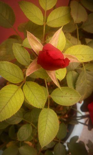 Red Rosé Flowers Plants Grandmas Garden Nature Beauty Garden Mexico Green Rose Button Red Rose