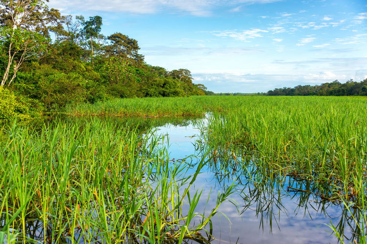 Grasses growing in a river in the Amazon rain forest near Iquitos, Peru Amazon Bark Brazil Canopy Forest Giant Green Greenery Iquitos  Iquitos, Perú Jungle Leaf Nature Outdoors Peru Plant Rainforest River Scenics South America Tree Tropical Trunk Understory Vegetation