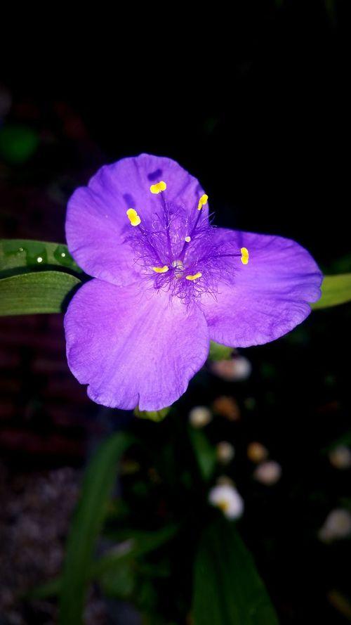Purple Flower Purple Flower Flowerporn Flower Collection Flower Photography Voorthuizen NL Samsungphotography Samsung Galaxy S5 Mobilephotography Ladyphotographerofthemonth Flower Power Floweroftheday Bloemenpracht Nederlandse Natuur Mobile Photography Smartphonephotography Bloemenfotografie Nature At My Doorstep