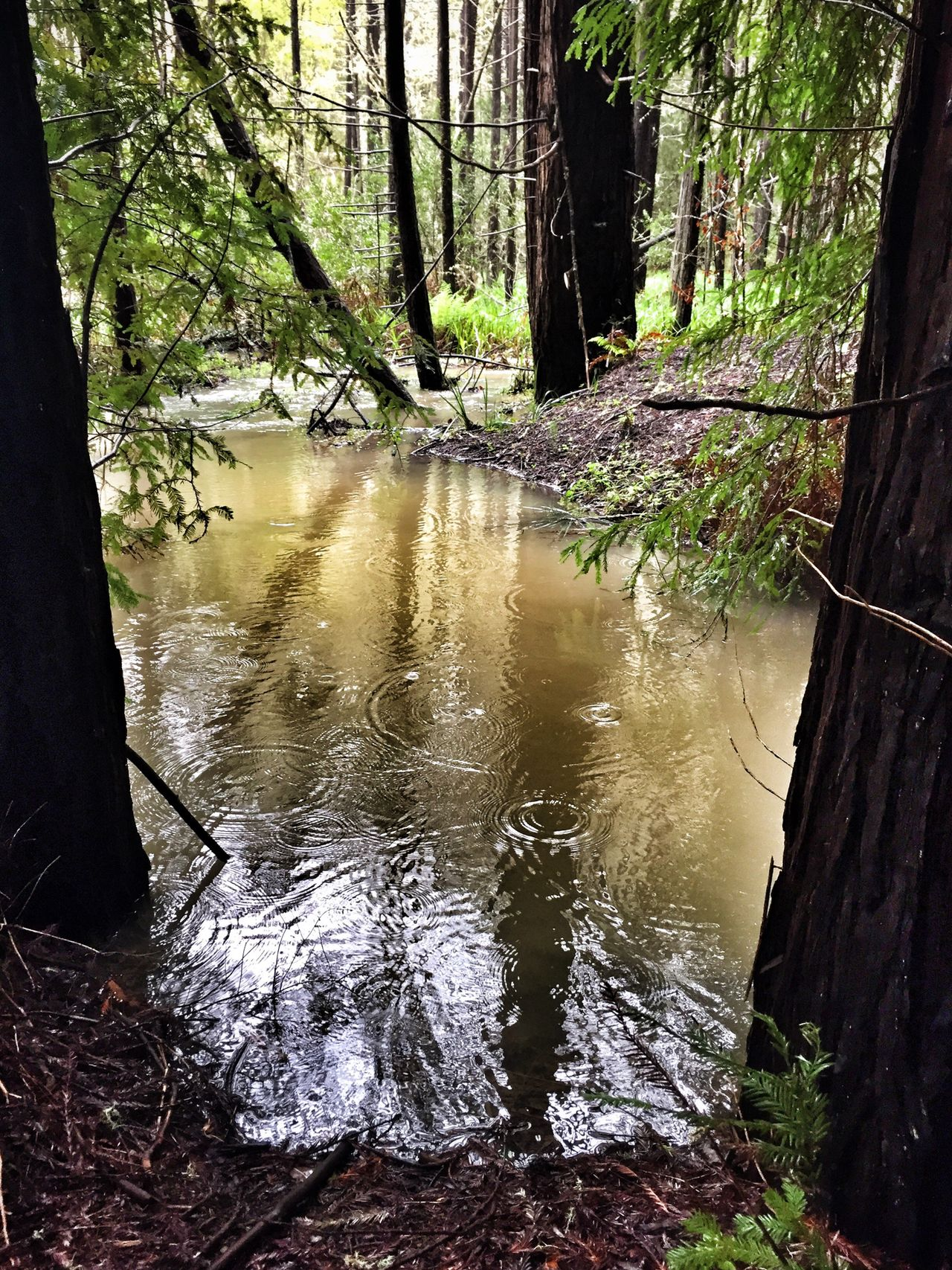 Framed by nature I Stormy Storm Rainy Days Stormy Weather Rainy Day Rain Water Drops Raindrops Puddle Water Reflections Reflection Hike In The Rain Outdoor Photography Framed By Nature Framed By Trees Redwoods ShotOniPhone6
