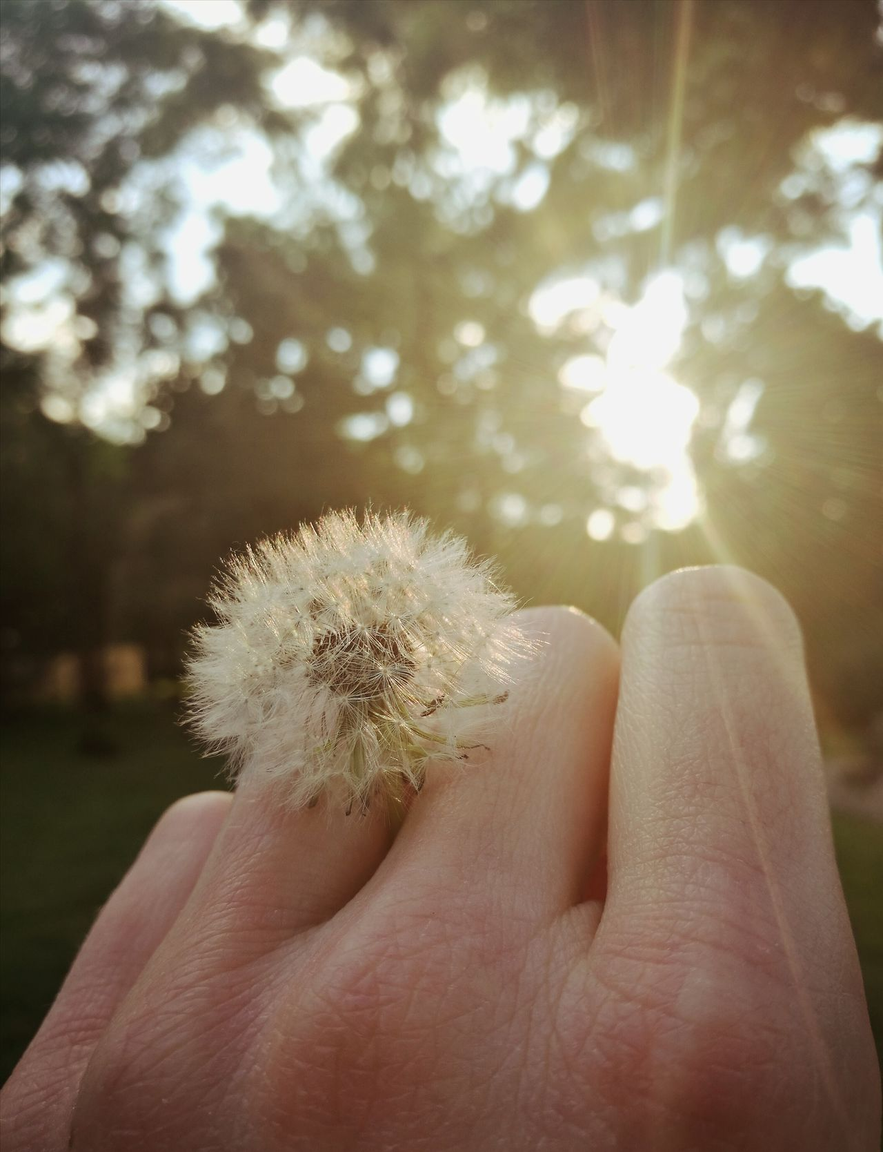 Sunset Dandelion Human Hand Ring Beauty Of Nature Warm Close-up Flower Summer
