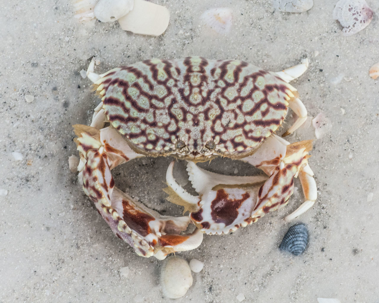 The red tide brought this up on shore. Beachphotography Beauty In Nature Crab Creatures Of The Sea Day High Angle View Islandlife Nature No People Ocean Oceanside Pattern, Texture, Shape And Form Sealife Tide