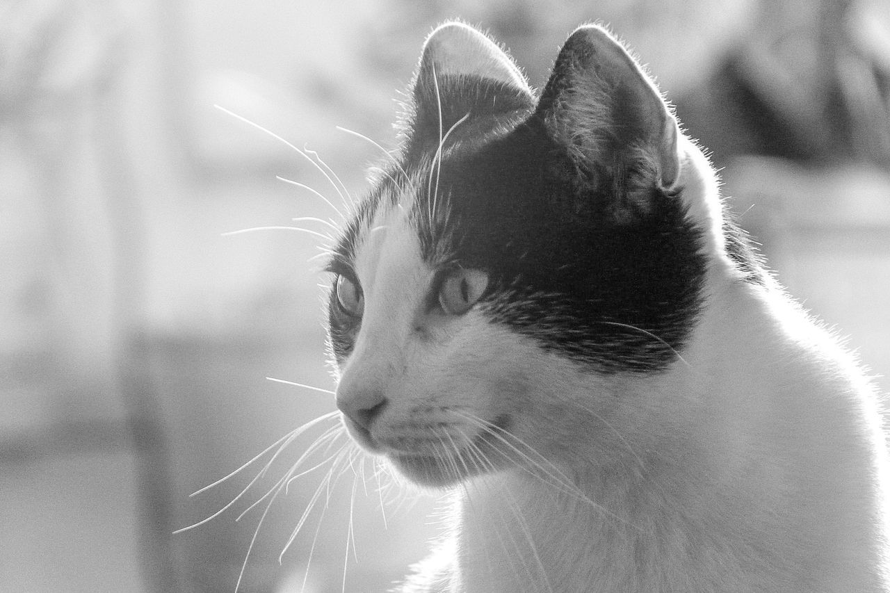 Animal Themes Black And White Cat Close-up Curiosity Day Domestic Animals Domestic Cat Mammal One Animal Pets Stray Cat