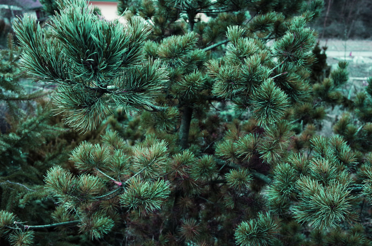 Beauty In Nature Close-up Coniferous Tree Detail Details Evergreen Green Color Green Color Growth Leaves Nature Needle - Plant Part Outdoors Pattern Pattern Pieces Patterns In Nature Pine Pine Cone Pine Tree Plant Tree Tree