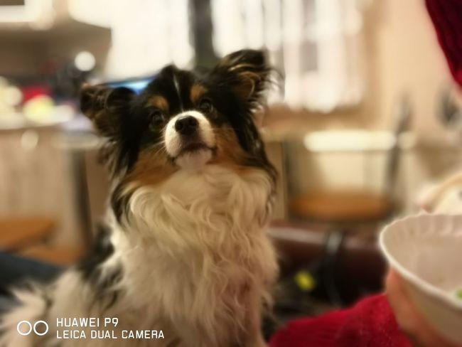Dog Pets One Animal Papiljon