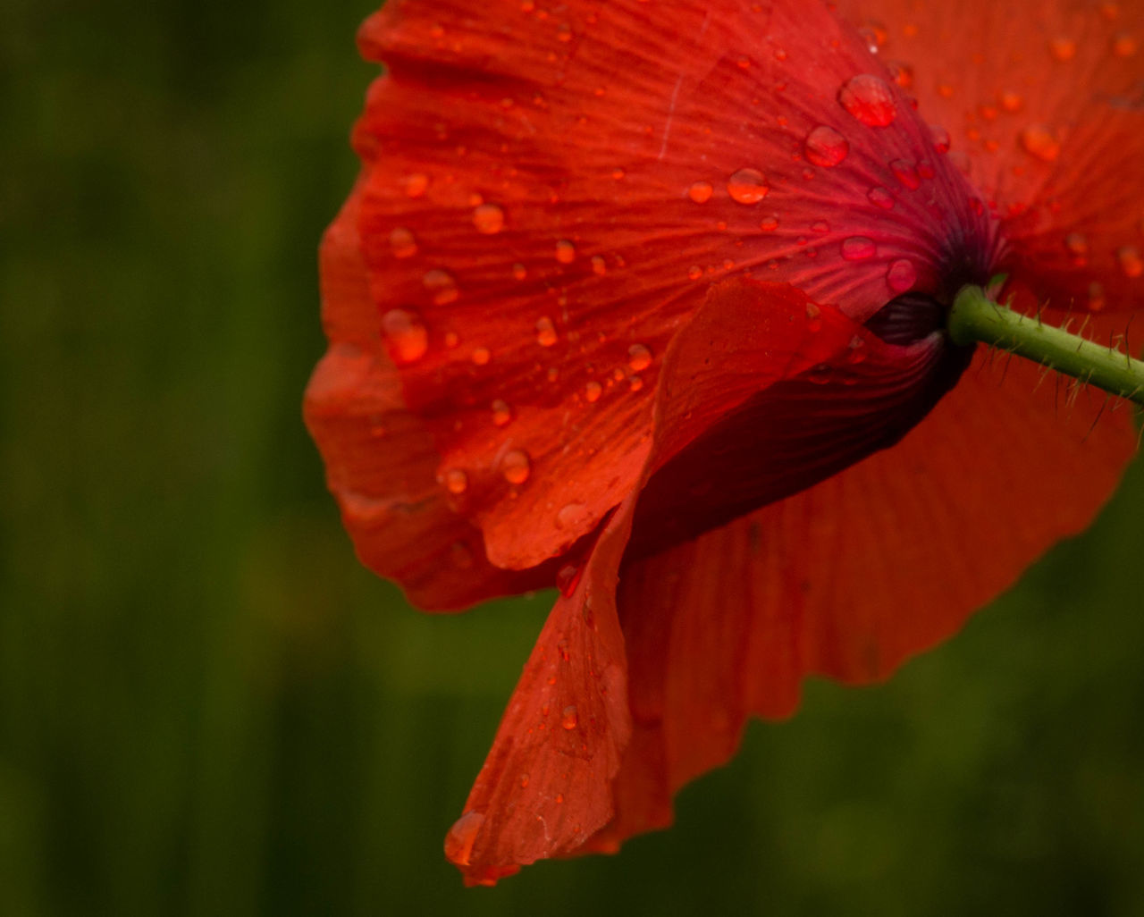 I feel like dancing.... Beauty In Nature Close-up Flower Focus On Foreground Fragility Freshness Klaproos Nature Poppy Poppy Flowers Raindrops Red Eggs Close Up Close Up Technology Green Green Color Red Color Nature Photography Naturelover