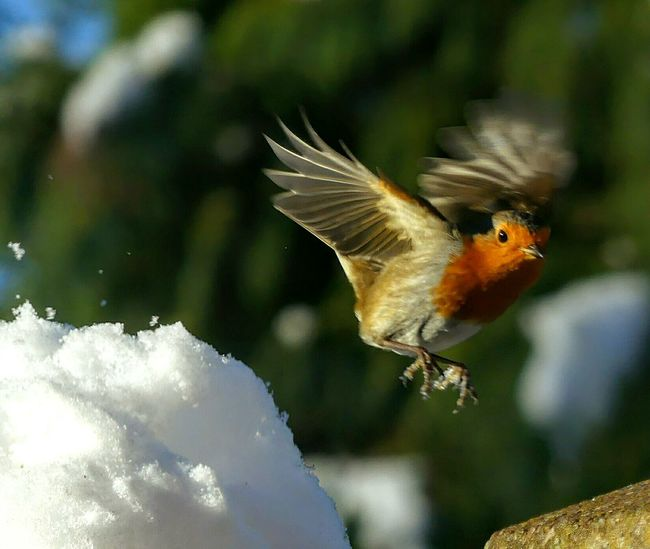 EyeEmNewHere Snow Snowy Scene Robin Redbreast Robin Flying Bird One Animal Animal Wildlife Flying Spread Wings No People Multi Colored Animals In The Wild Close-up Outdoors Nature Day