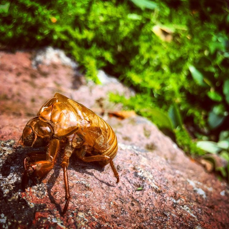 Japanese Cicada Semi Summer Empty Shells Of Semi 2017 Growing Up Short Life Fry Noisy But Beautiful EyeEm Nature Lover Insect Photography Always Love The Most Beautiful Insect Biology