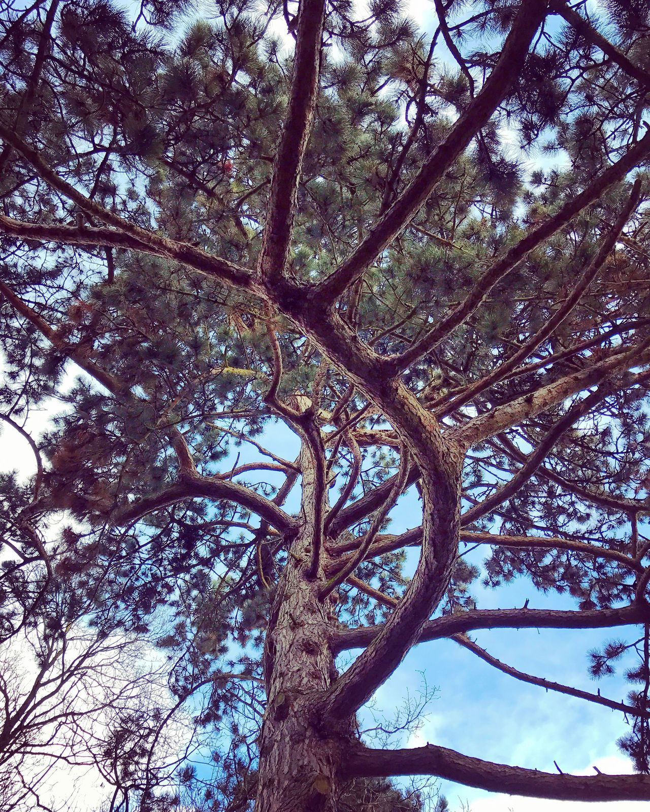 The old fir with the beautiful curves. Tree Nature Low Angle View Branch Beauty In Nature Environment No People Forest Outdoors Tranquility Day Sky Fir Evergreen Evergreen Tree Curves