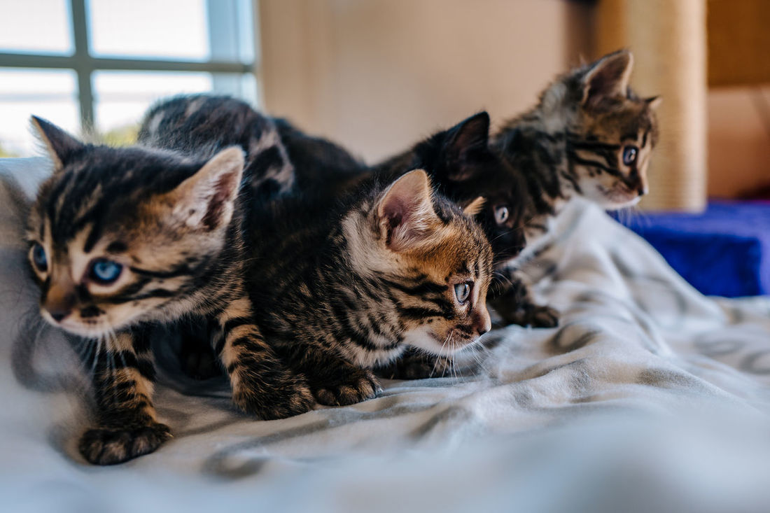Alertness Animal Themes Bengal Cat Bengal Cat Lover Bengal Cats Bengal Kitten Cat Close-up Domestic Animals Domestic Cat Feline Focus On Foreground Home Kitten Lying Down Mammal No People Pets Portrait Relaxation Relaxing Resting Selective Focus Whisker Young Animal