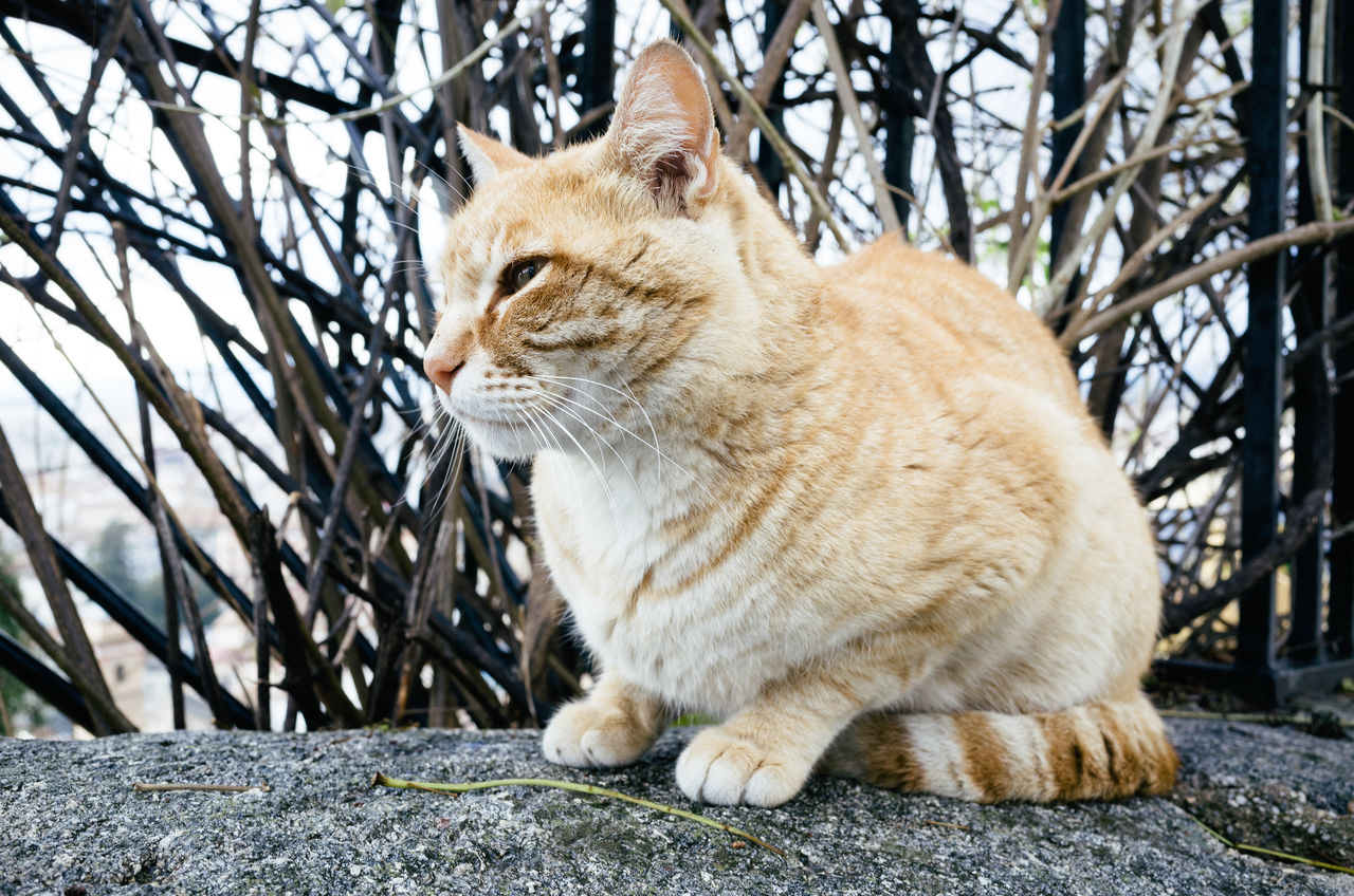domestic cat, one animal, animal themes, pets, feline, domestic animals, mammal, sitting, no people, whisker, focus on foreground, day, outdoors, ginger cat, bare tree, close-up
