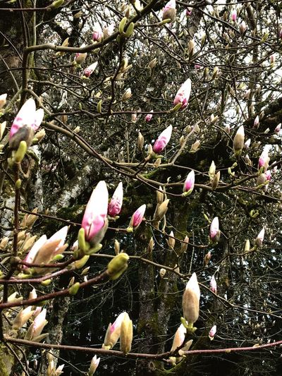 Something's happening! No People Still Life Spring Spring Flowers Spring Is Coming  Magnolias Blooming Buds On Branches Portland Oregon Outdoor Photography Out And About